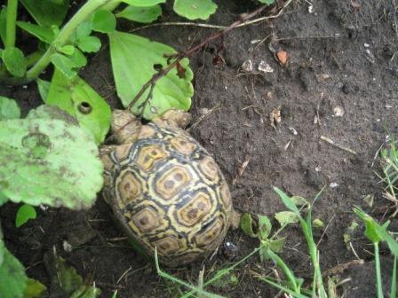 baby-tortoise