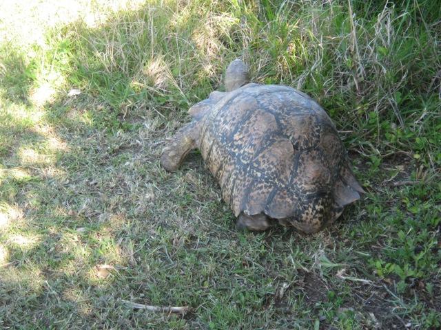 tortois1