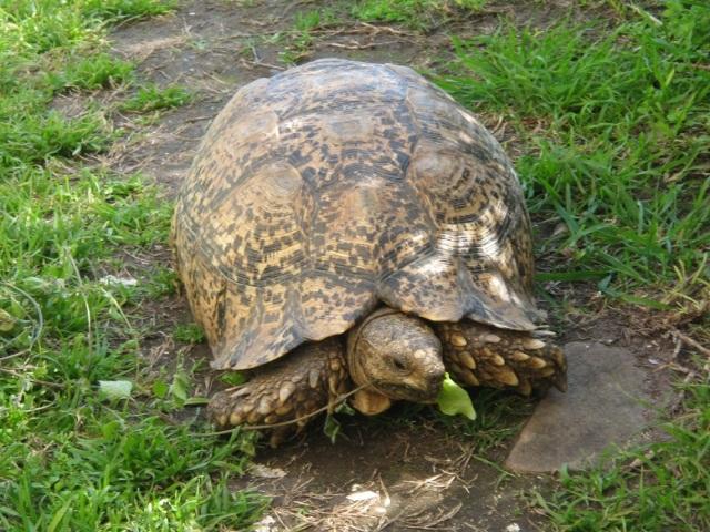 charlston-garden-tortoise-eating-lettuce