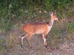 bushbuck-ewe